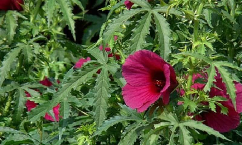 Kenaf (Hibiscus cannabinus)