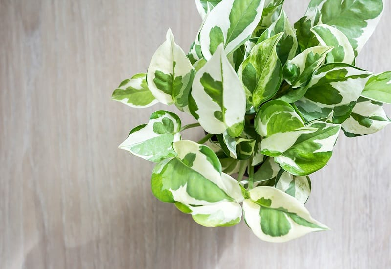 Pearls and Jade Pothos Care