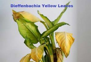 Dieffenbachia Yellow Leaves