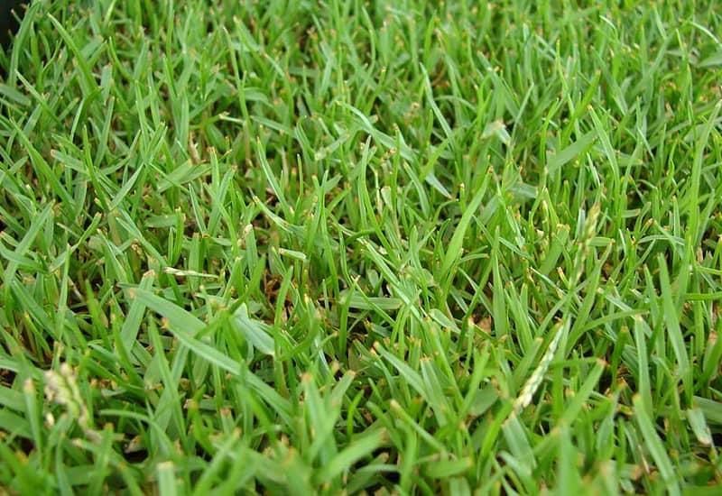 How To Grow Zoysia Grass