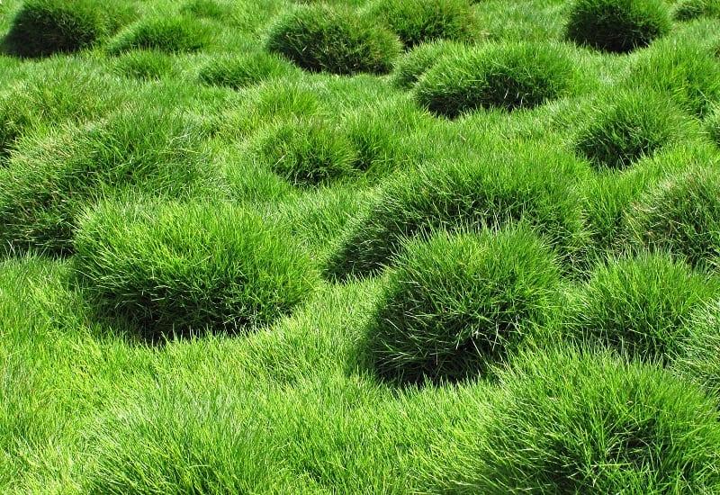 How To Make Zoysia Grass Green