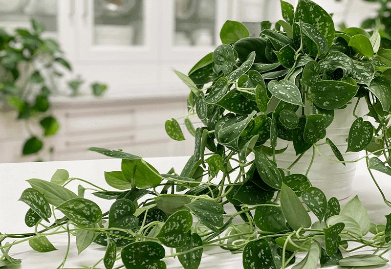 Pothos plant Leaves Curling