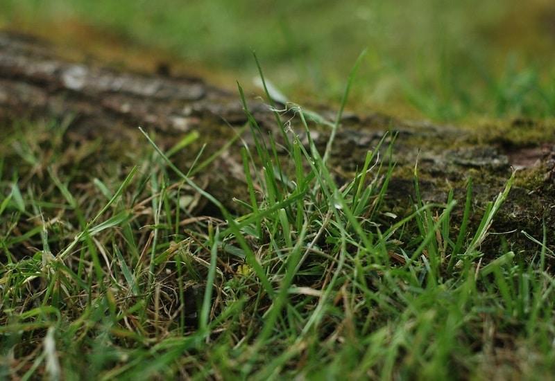 How To Kill Bermuda Grass In Zoysia