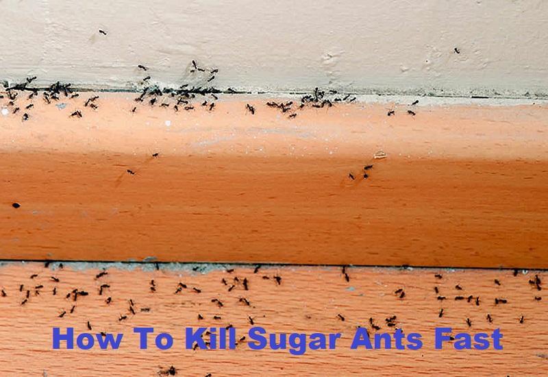 How To Kill Sugar Ants Fast