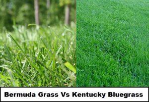 Bermuda Grass Vs Kentucky Bluegrass