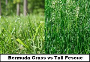 Bermuda Grass vs Tall Fescue