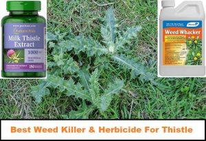 Best Weed Killer & Herbicide For Thistles