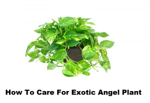 How To Care For Exotic Angel Plant