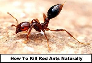 How To Kill Red Ants Naturally