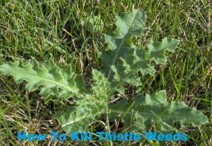 How To Kill Thistle Weeds
