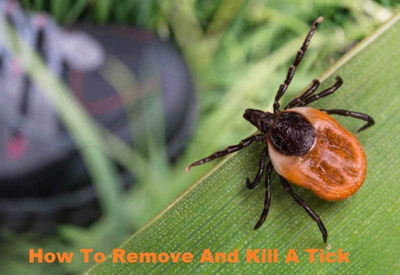 How To Remove And Kill A Tick
