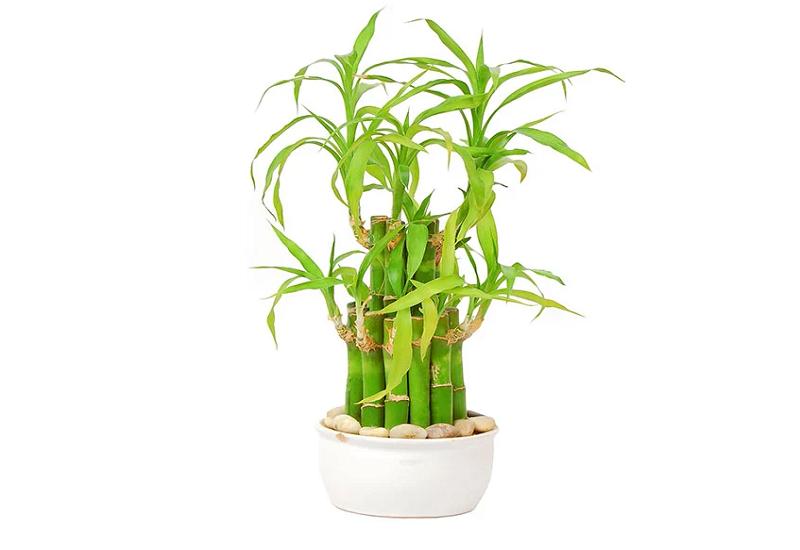 Lucky Bamboo or Dracaena sanderiana