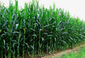 Plants That Looks Like Corn Stalks