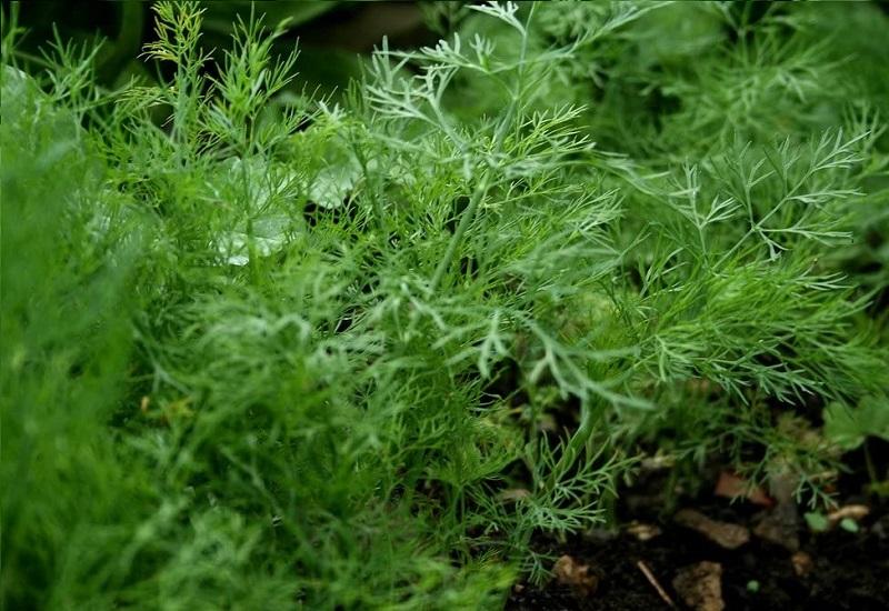 Plants That Looks Like Dill