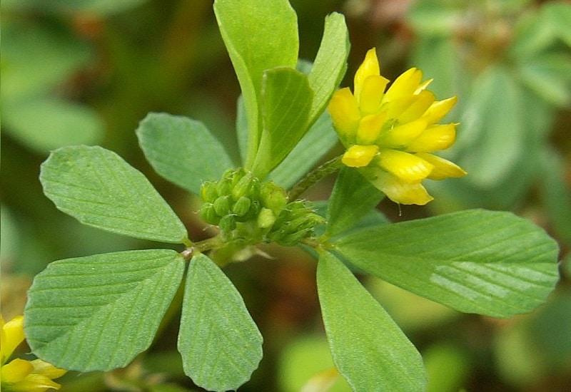 Lesser Trefoil Plant