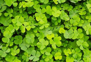 Plants That Look Like Clover