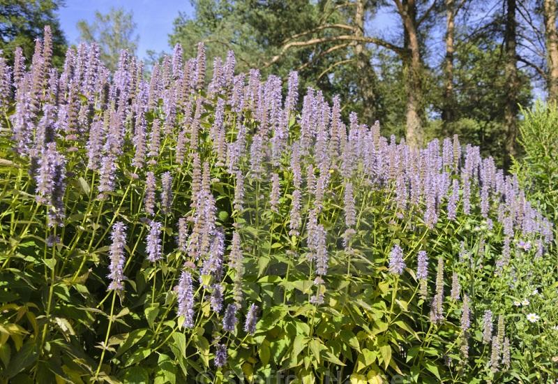 purple giant hyssop Plant