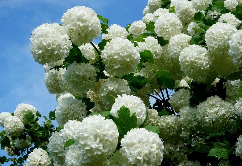 Chinese snowball shrub