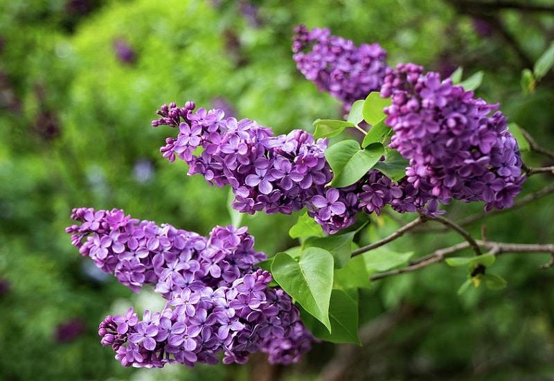 Purple Panicles (Syringa vulgaris)