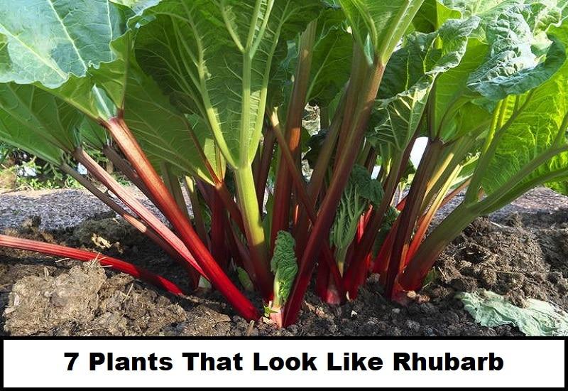 Plants That Look Like Rhubarb